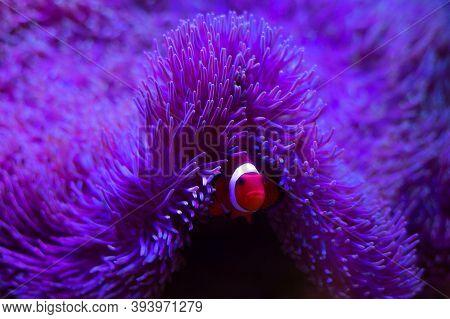 Anemone Fish With Anemone, Sea Anemone And Clown Fish In Marine Aquarium.