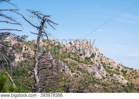 Old Dry Tree On The Mountainside. Fallen Pines On The Steep Slope Of A High Rocky Mountain. High Roc