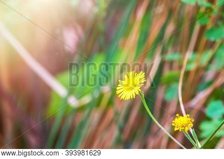 Close-up Of Sonchus Asper, Also Known As The Prickly Sow-thistle, Rough Milk Thistle, Spiny Sowthist