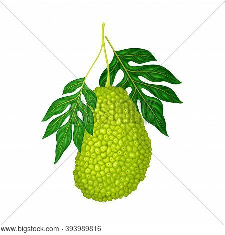 Whole Elliptical Jackfruit With Green Gummy Pimpled Shell Hanging On Tree Branch Vector Illustration