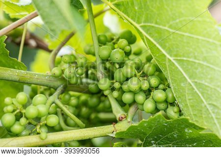 Close Up Of Raw White Wine Grapes From German Region Moselle Winningen