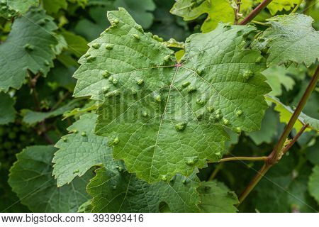 Sick Leaves Wine Plant Infected At The German Wine Region Moselle River