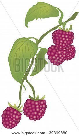Vector raspberry
