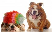 english bulldog laughing at another bulldog wearing silly clown wig poster