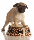 pug puppy in empty food dish isolated on a white background poster
