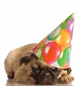 fawn pug puppy wearing birthday hat isolated on white background poster