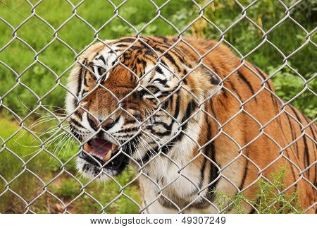 A Close Portrait of an Angry Bengal Tiger in a Zoo Cage poster