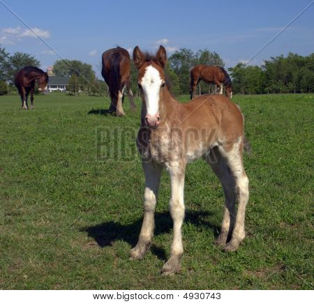 Foal In Field