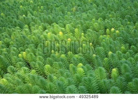Myriophyllum, watermilfoil, freshwater aquatic plants