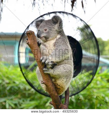 Australian koala bear sleeping on eucalyptus