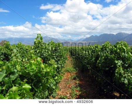 Close To The Vines