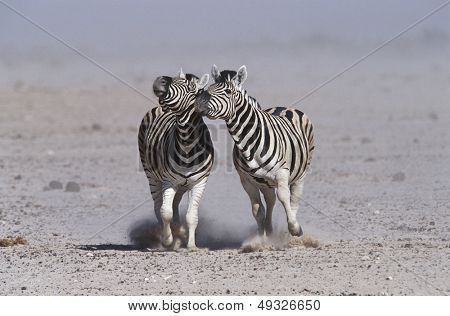 Namibia Etosha Pan two Burchell's Zebras running side by side