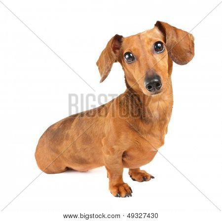 Dachshund dog portrait