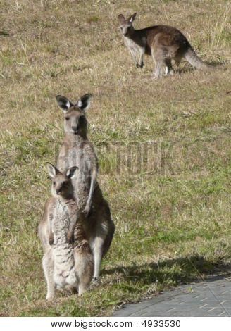 Mum  Baby Kangaroo  Dad In Background