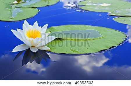 White Lily On A Lake