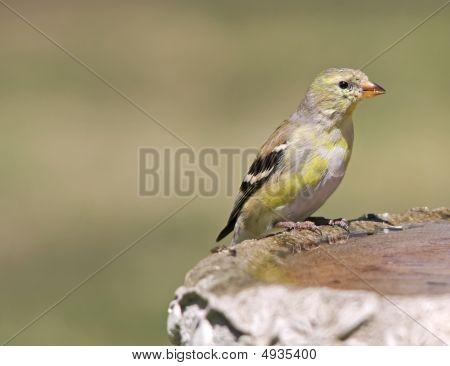 Female Goldfinch On Bird Bath