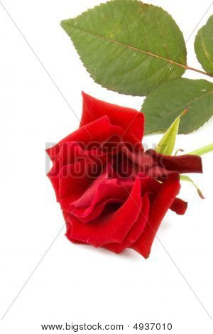 One Red Rose, Isolated On White Background