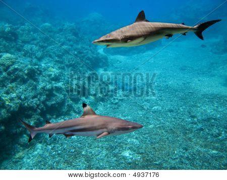 Sharkes