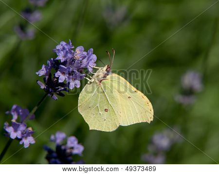 Brimstone (Gonepteryx Rhamni) And The Lavender