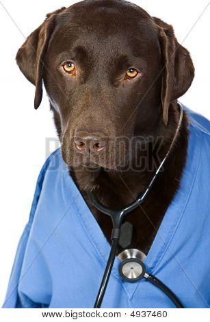 Doctor Labrador