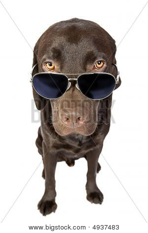 Cool Labrador In Sunglasses