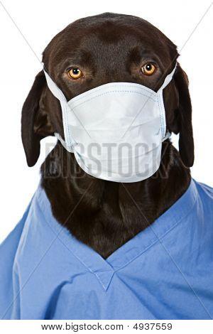 Chocolate Labrador Surgeon