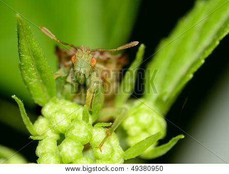 An Ambush Bug perched on a green plant. poster