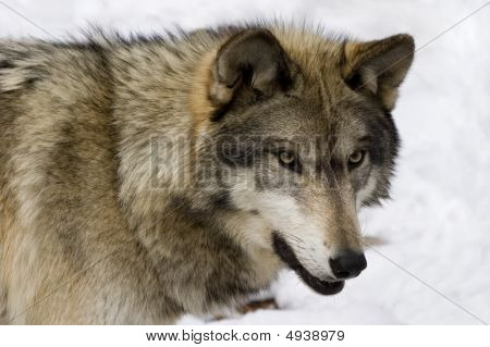 Timber Wolf (Canis lupus lycaon) in snow poster