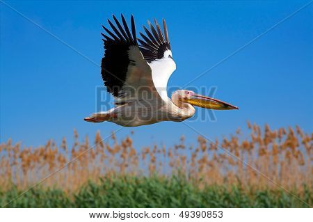 pelican (pelecanus onocrotalus) flying over the lake