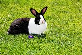 A black and white rabbit lounges on a green lawn. poster