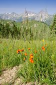 Flowers blooming hawksbeard orange and red on a mountain meadow poster