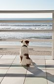 A white and tan jack russell terrier sits staring out at the ocean waves poster