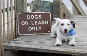 Cute white puppy lying next to a DOGS ON LEASH ONLY sign. poster