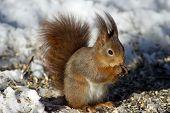 The Eurasian red squirrel (Sciurus vulgaris) here eating sunflower seeds in Uppland Sweden poster