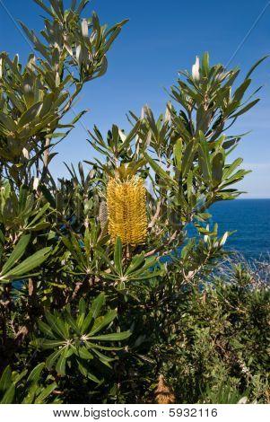 Yellow Banksia