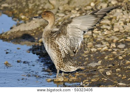 Pintail flapping