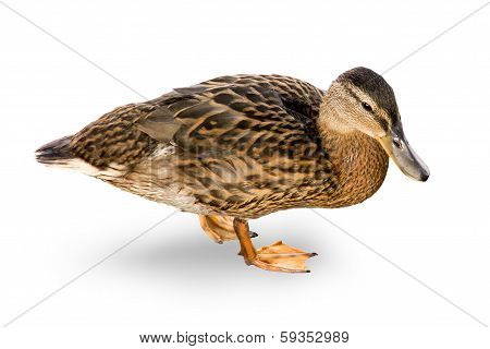 Duck On A White Background.
