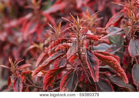A common plant found in Bermuda, the Match me if you can plant and sometimes know as Jacob's Coat.  Botanical name is Acalypha wilkesiana