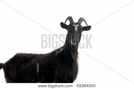 Portrait Of Goat On A White Back