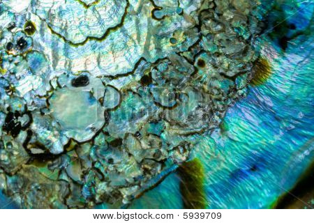 abalone background