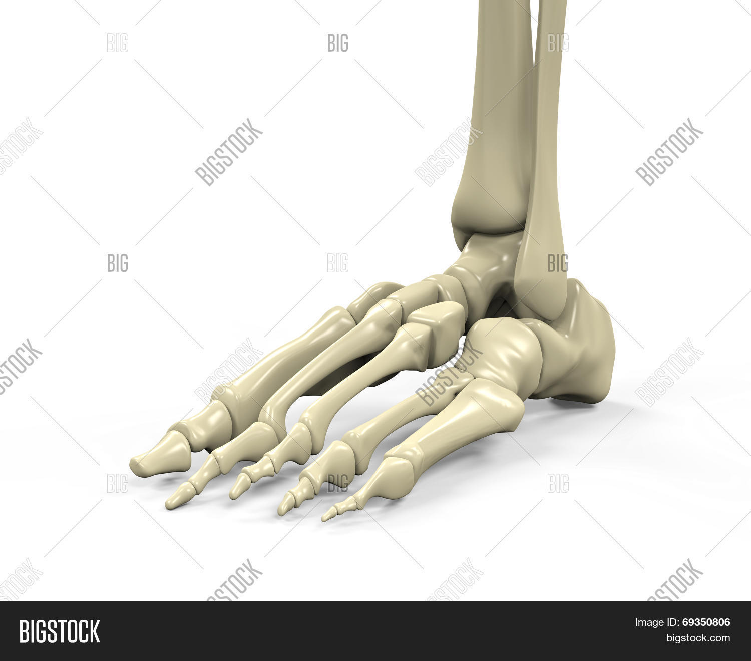 Foot Skeleton Anatomy Image & Photo (Free Trial) | Bigstock
