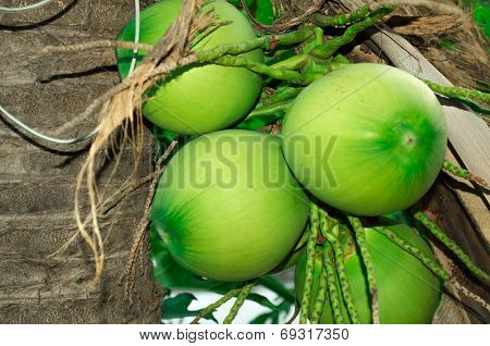Fresh coconuts hanging on tropical palm tree poster