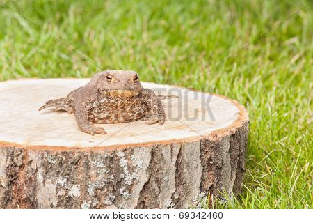 frog on the tree stump and green grass