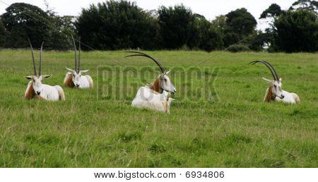 Scimitar Horned Oryx Resting