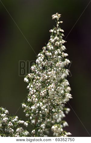 Tree heath, erica arborea