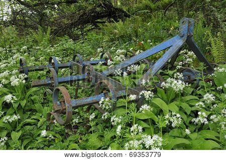 Old Spring Tooth Harrow Among Ramsons