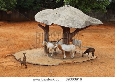 Thomson's Gazelle With Deer