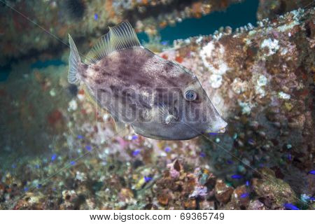 Grey Triggerfish Portrait