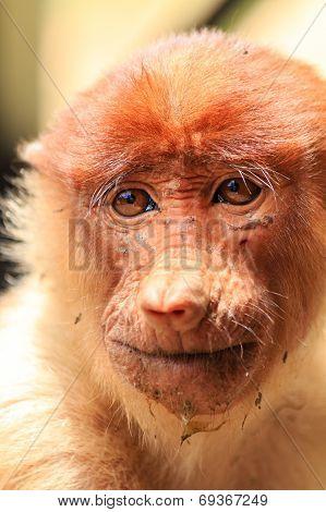 Dirty Looking Proboscis Monkey