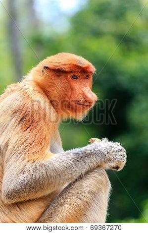 Female Proboscis Monkey Feeding